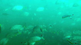 Big pack of tropical fishes over a coral reef stock video footage