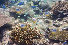Big pack of tropical fishes over a coral reef.  Stock Photos