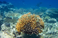 Big pack of tropical fishes over a coral reef.  Stock Photography