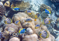 Big pack of tropical fishes over a coral reef.  Royalty Free Stock Photo