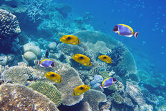 Big pack of tropical fishes over a coral reef.  Stock Images