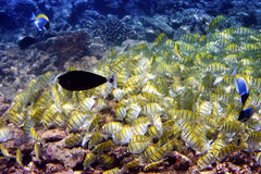 Big pack of tropical fishes over a coral reef. Abudefduf vaigiensis.  Royalty Free Stock Image