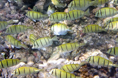 Big pack of tropical fishes over a coral reef.Abudefduf vaigiensis.  Royalty Free Stock Images
