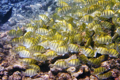 Big pack of tropical fishes over a coral reef.Abudefduf vaigiensis.  Stock Images