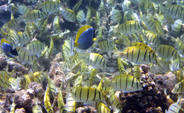 Big pack of tropical fishes over a coral reef.Abudefduf vaigiensis.  Stock Image