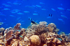Big pack of tropical fishes.Sea tropical landscape Royalty Free Stock Images