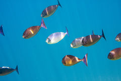 Big pack of tropical fishes. Underwater landscape in a sunny day Stock Images