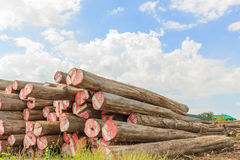 Big Padauk Timber Storage Yaed. Royalty Free Stock Image