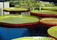 Big Pads in a little pond royalty free stock photography