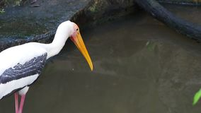 Big painted stork bird standing on the rock waiting to hunt by the fish pond stock video