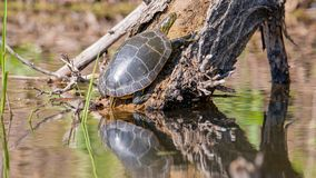 Big painted turtle on log coming out of water - pretty reflection of turtle on the water - taken in the Minnesota Valley Wildlife. Refuge stock photo