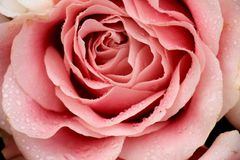 Big pale pink rose. In a floral wedding decoration Royalty Free Stock Photo