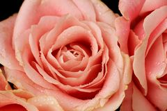Big pale pink rose. In a floral wedding decoration stock photo