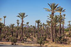 Big palm grove Stock Images