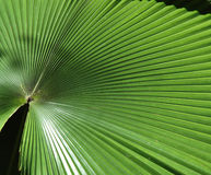Big Palm Leaf. Closeup of Big Palm Leaf stock image