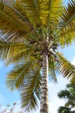 Big palm Royalty Free Stock Photography