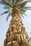 big palm tee στοκ εικόνα με δικαίωμα ελεύθερης χρήσης