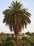 Big palm tree Stock Photo