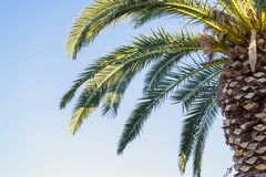 Big palm tree against the blue sky Stock Photography
