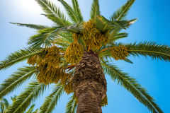 Big palm tree Royalty Free Stock Photo