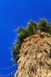 Big Palm Tree close up, California Royalty Free Stock Photos