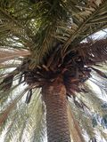Big palm tree. Palm tree planted for shade Royalty Free Stock Photos