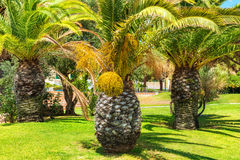 Big palm tree Royalty Free Stock Image