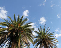 Big palm trees in the blue sky with clouds. Stock Images