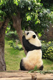 Big panda royalty free stock photo