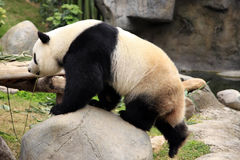 Big panda Stock Image