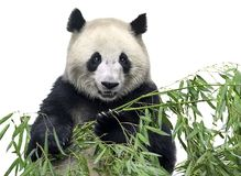 Big panda with bamboo. Isolated panda. Big panda bear holding a bunch of bamboo branches with leaves isolated on white background Stock Photography