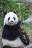 Big panda eating bamboo Royalty Free Stock Photos