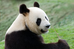 Big panda Royalty Free Stock Photos