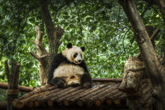Big panda. Sitting in a bamboo forest Stock Image