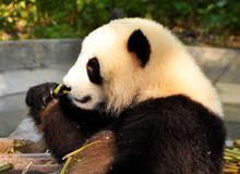 Big panda sitting on the floor and eating bamboo, China royalty free stock photography