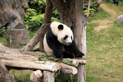 Big panda Stock Photography