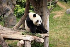 Big panda Stock Photography