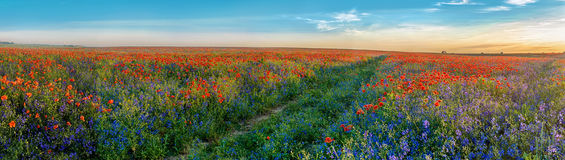 Big Panorama of poppies and bellsflowers field with path. Big Panorama of poppies field with path and blue sky royalty free stock images