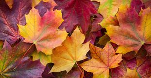 Big panoramic photo of multicolor autumn leaves background. Amazing multicolor autumn background.  royalty free stock images