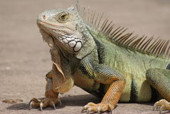 Big Papa Iguana royalty free stock photo