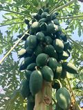 Big papaya tree royalty free stock photo