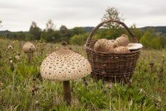 Big parasol mushroom on field Stock Photo