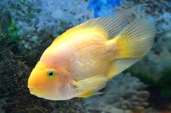 Big parrot fish Stock Image
