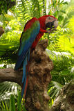 Big parrot (Green wings macaw) Royalty Free Stock Photos