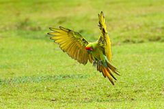 Big parrot in habitat. Endangered parrot, Great green macaw, Ara ambiguus, also known as Buffon\'s macaw. Wild tropical forest bir. D, flying with outstretched royalty free stock photo