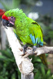 Big parrot macaw. A big bird in bright red blue green lights. Stock Photography