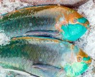 Big parrotfish Stock Image