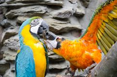 Big Parrots playing with each other Stock Image