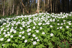 Big patch of wood anemone. With forest in the background. Wild spring flowers Royalty Free Stock Photo