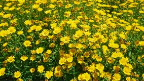 A big patch of yellow daisies royalty free stock images